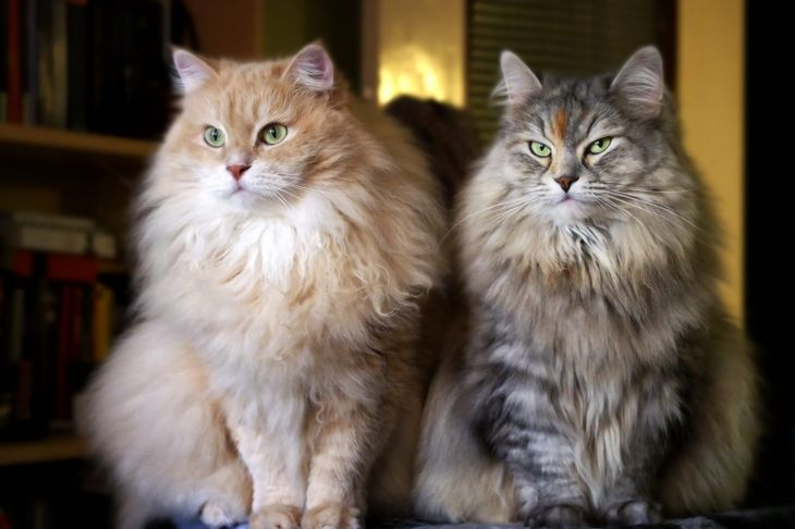Two Siberian cats