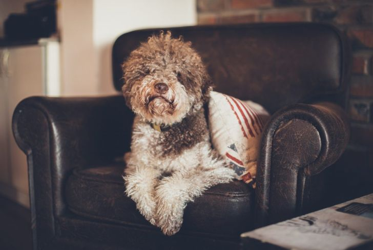 Lagotto Romagnolo on couch