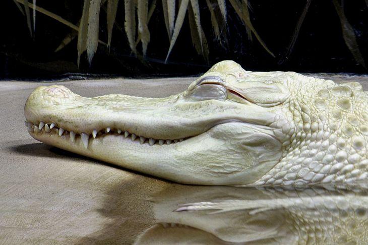 A sleeping albino alligator showing off its teeth