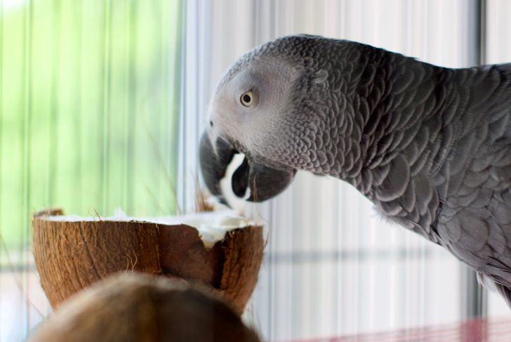 An African grey parrot eating a coconut
