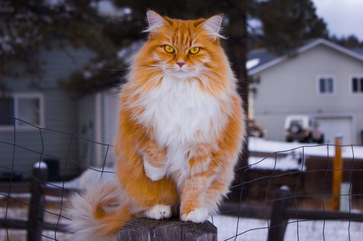 Red Norwegian forest cat