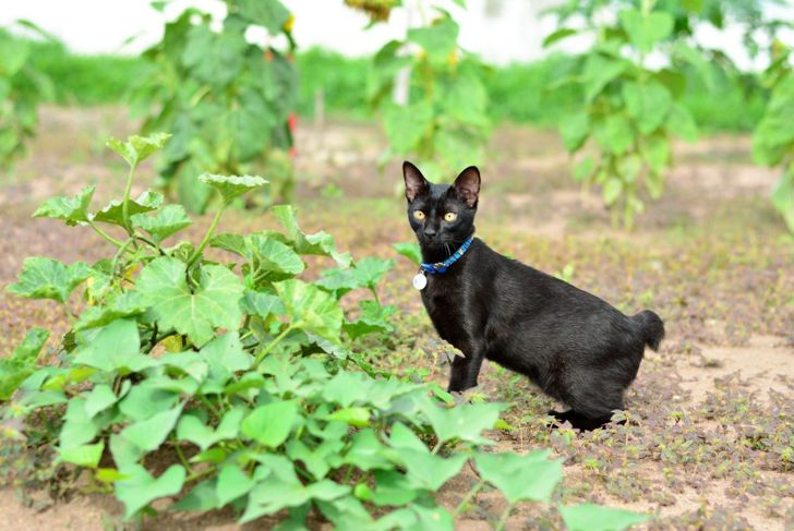Japanese bobtails love being outside and exploring new places.