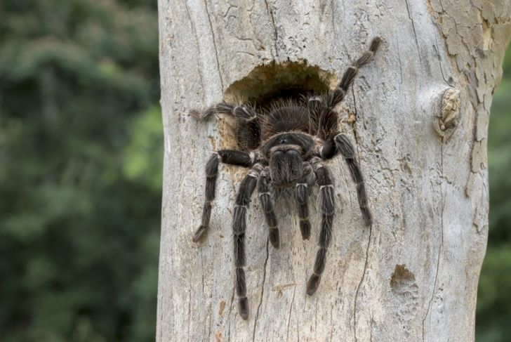 Tree-dwelling tarantula coming out of tree hollow.