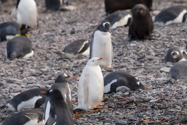 An albino penguin in a group of other penguins