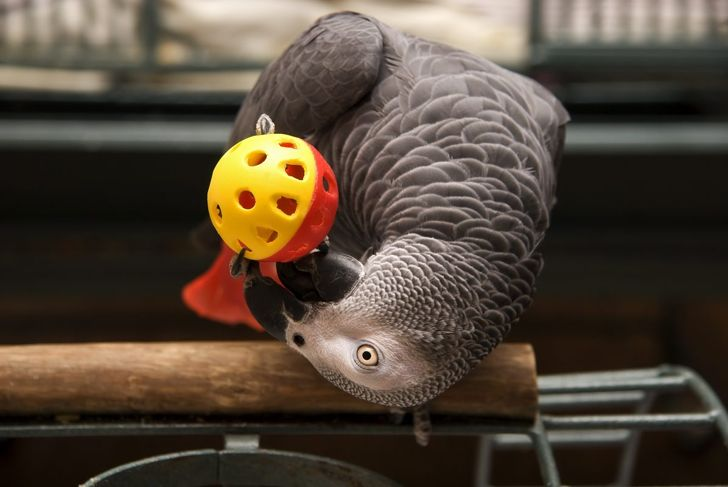 An African grey parrot playing with a ball