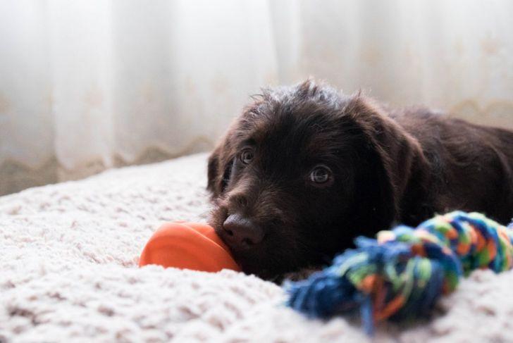 labrador miniature poodle