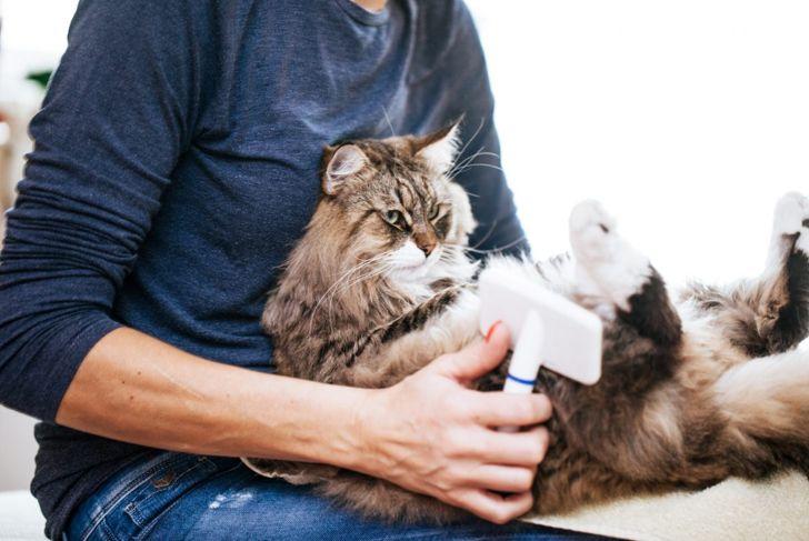 Siberian cat getting brushed