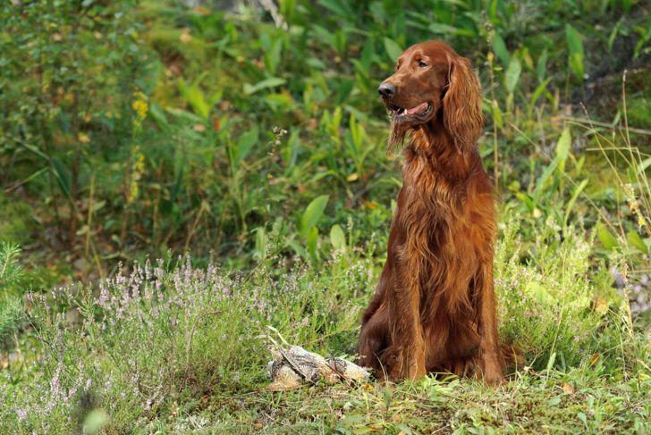 irish setter bird dog