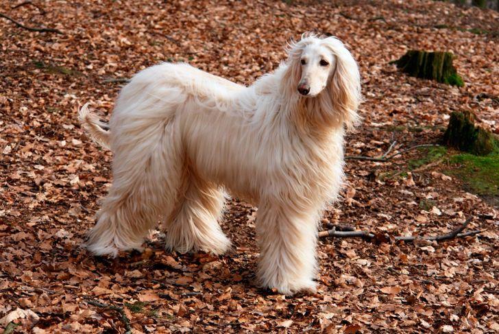 afghan hound coat