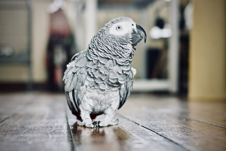 An African grey parrot on the floor of a home
