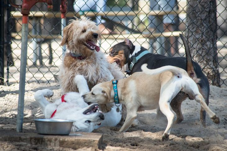 dogs playing at the dog park