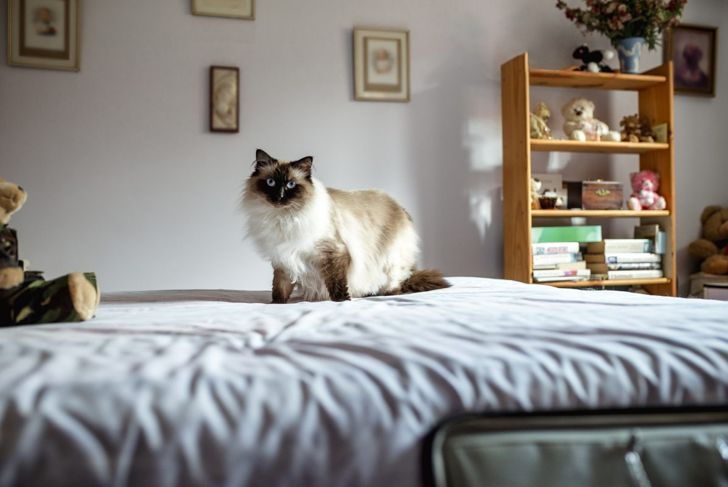 Himalayan cat on bed