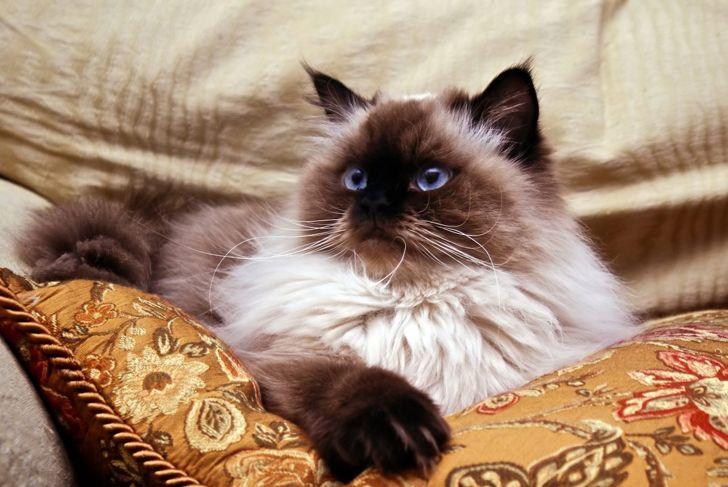 Himalayan cat on pillow