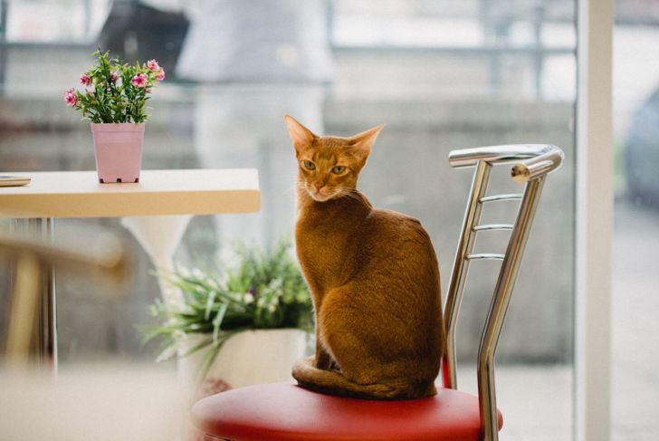 Abyssinian cat on chair