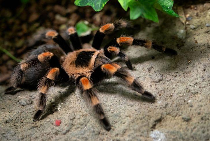 Orange and black tarantula on forest floor.