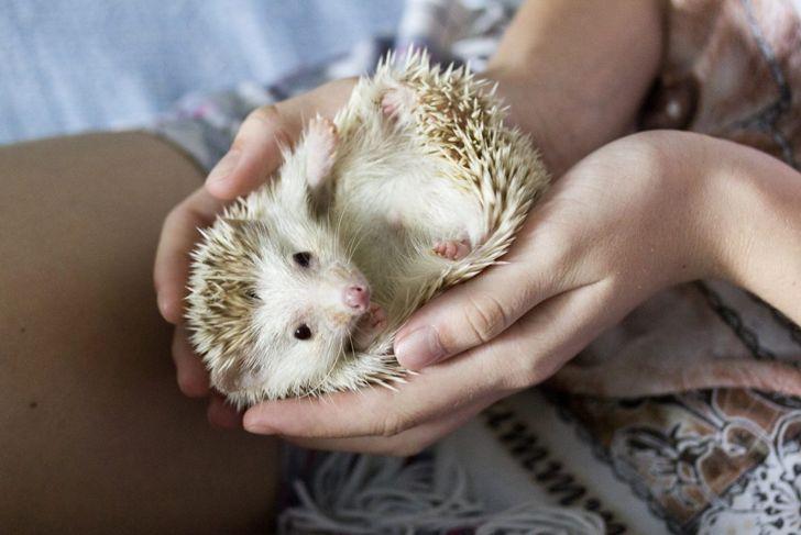 An African pygmy hedgehog enjoying handling.