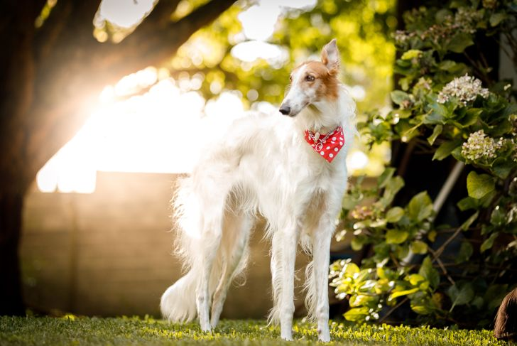 Borzoi dog wearing a red bandana standing outside