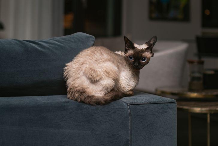 Beautiful Devon Rex cat (Blu Point type) In the home interior. Selective focus, bokeh