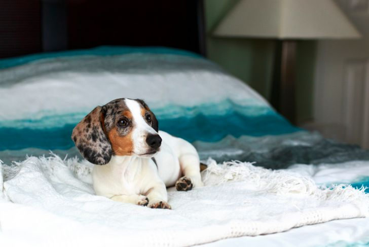 cute white piebald dachshund puppy dog laying relaxed on the bed on a beautiful morning waking up.