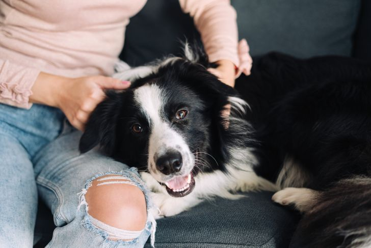 Happy Border Collie lying down on the owner lap at home