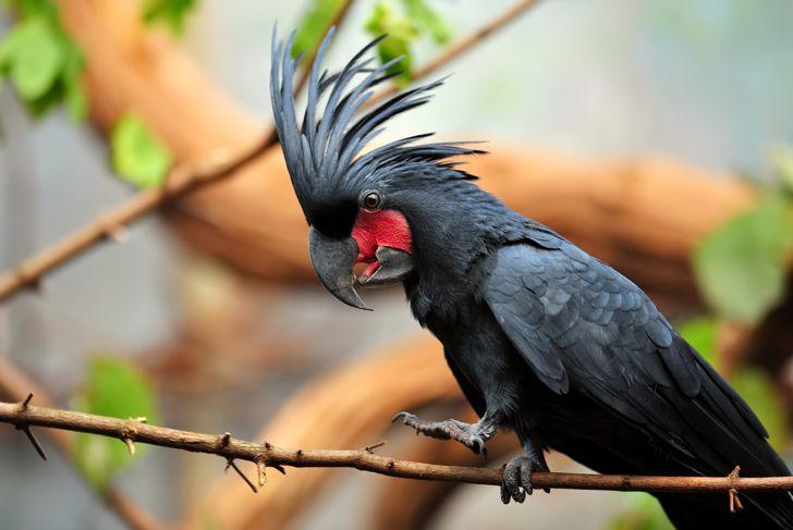 close-up of a palm cockatoo (Probosciger aterrimus)
