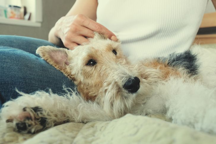 Fox terrier cuddling with their owner