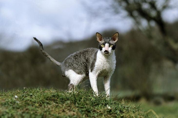 Cornish Rex Domestic Cat, Adult standing on Grass