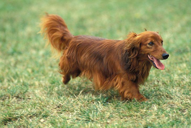 Long-Haired Dachshund, Dog running on Grass