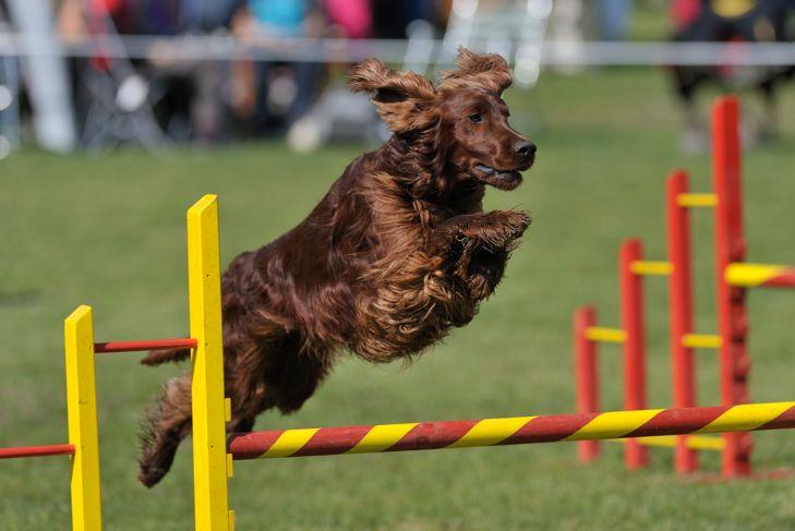 Irish Setter on agility course, over the bar jump
