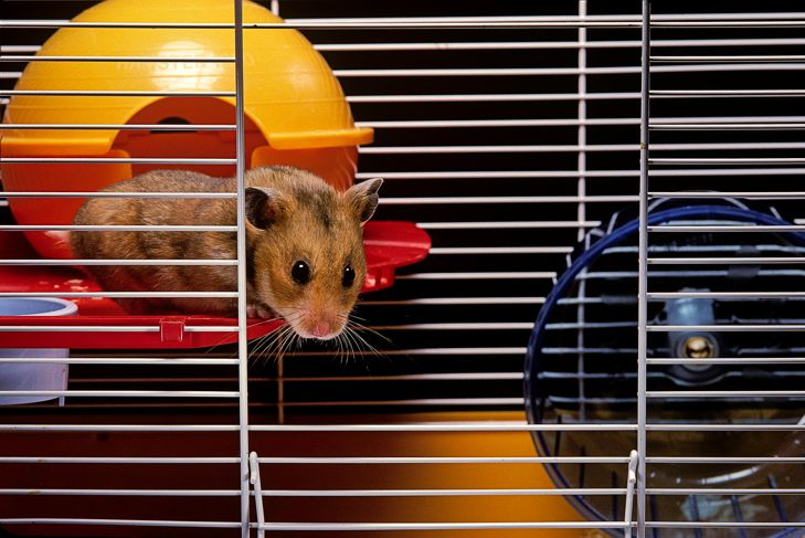 Brown hamster in its cage, looking down
