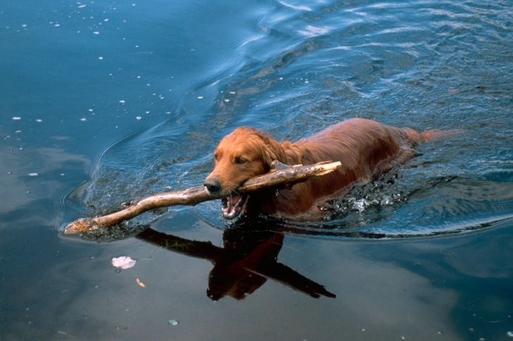 Irish Setter Swimming in a lake with a stick