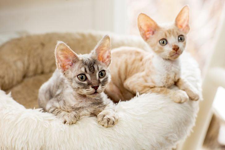 Cute two kittens Cornish Rex peering with plush basket.