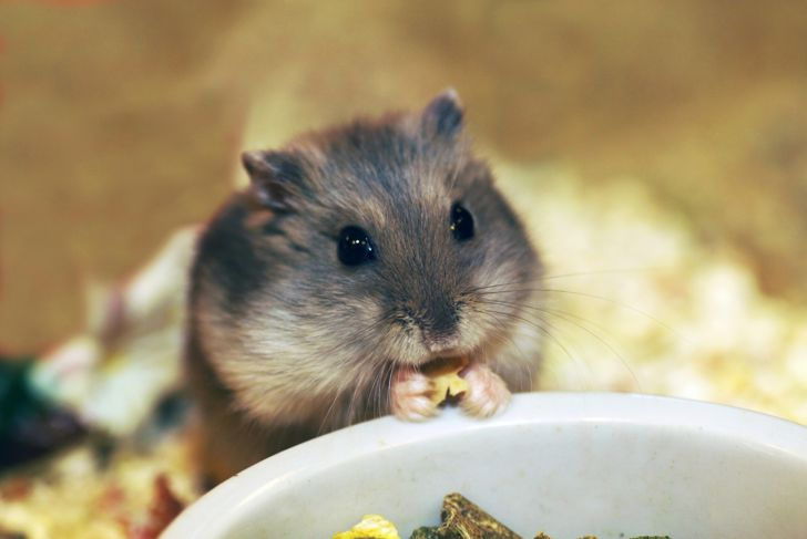 Hamster eating from the food bowl