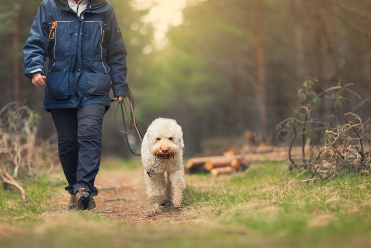 A retired woman out walking a dog (Lagotto romagnolo breed) in a spring forest.