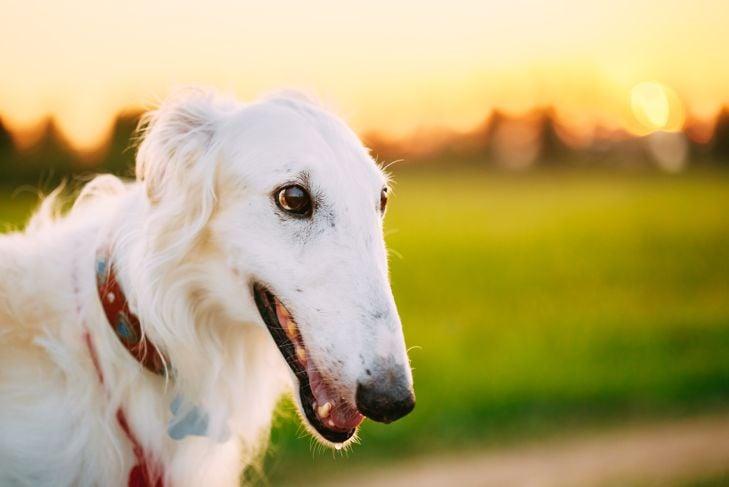 Close up White Russian Dog, Borzoi in Summer Evening, Sunset Sunrise