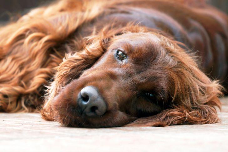 Portrait of a beautiful lazy Irish Setter