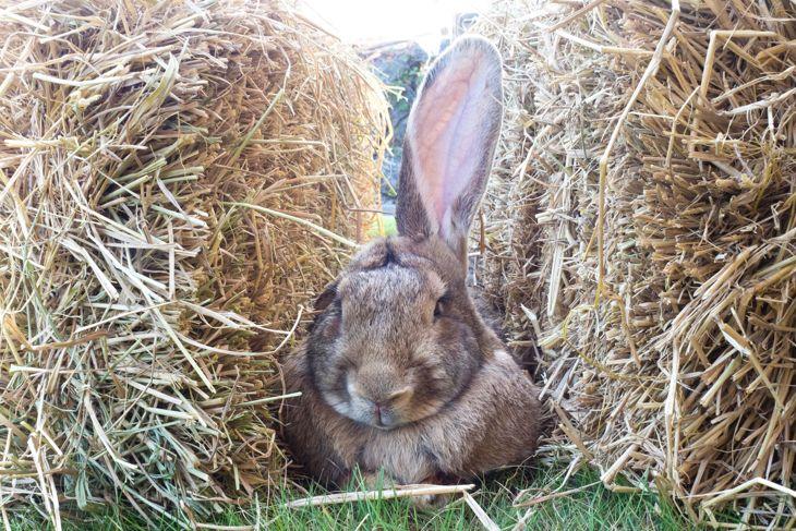 Brown Flemish giant rabbit sitting between two haystacks