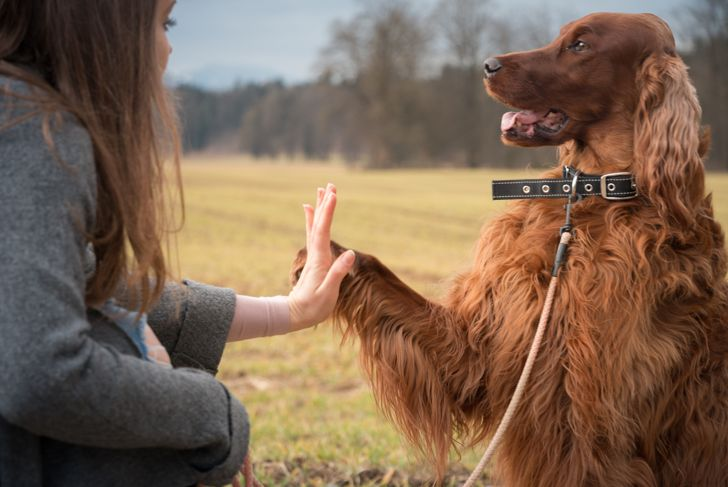 Woman training irish setter dog