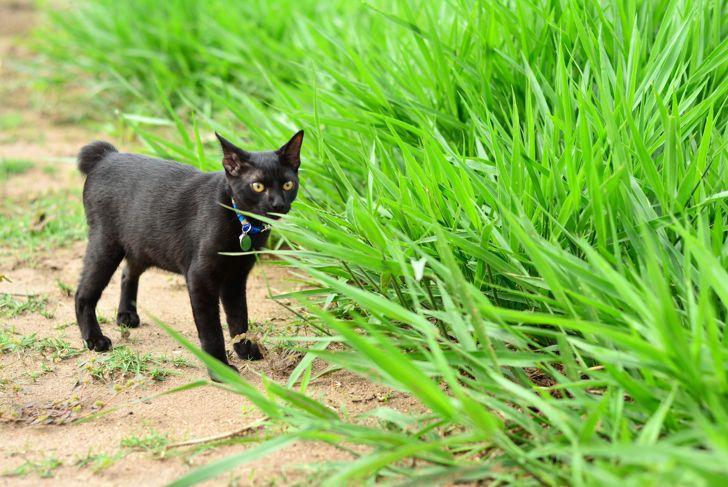 Black Japanese bobtail cat outside