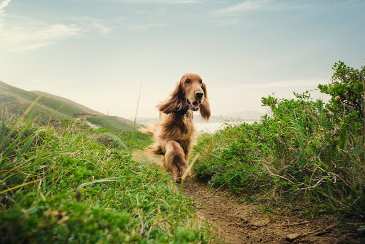 irish setter dog running along a path