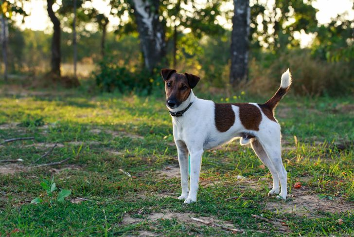 Dog breed smooth-haired fox terrier on open air