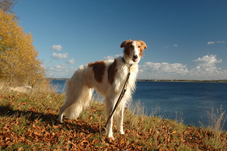 Borzoi dog stands in a landscape in autumn colors.
