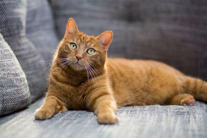 Portrait of orange ginger cat lying on sofa.