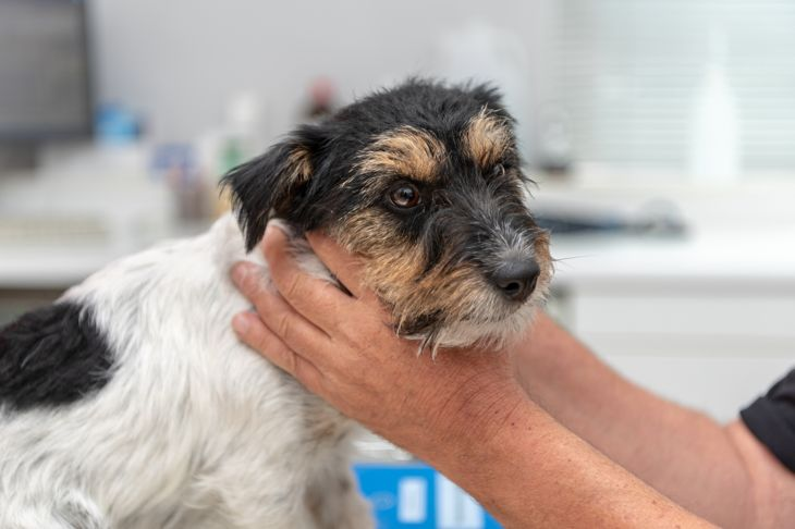 Vet examines a Jack Russell Terrier dog