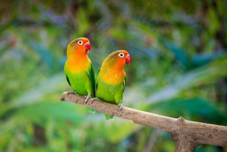 Fischer's lovebirds perching on branch.