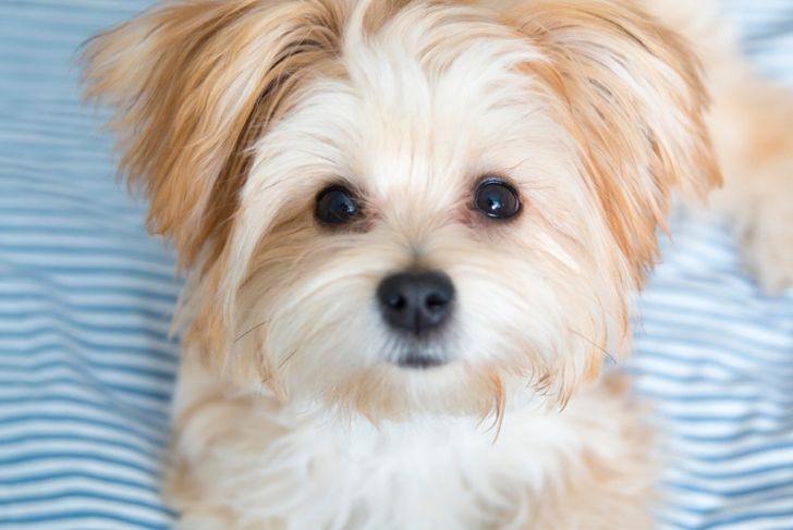Morkie Puppy looking directly at the camera