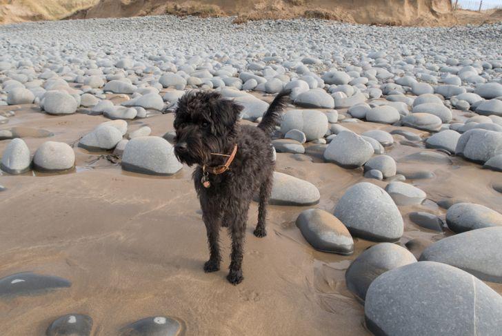 Black Coated Schnoodle Puppy Dog on Westwood Ho Beach