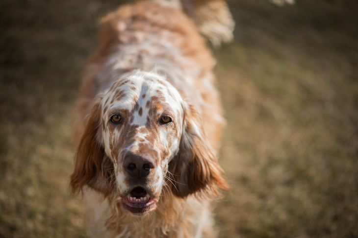 Brown and white english setter