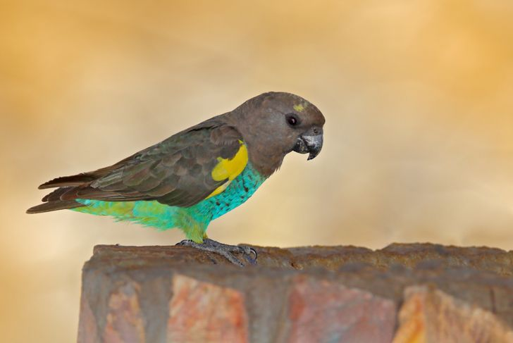 Meyer's parrot standing on a tree stump