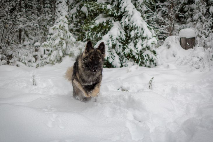 Shiloh Shepherd running in winter